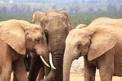 Three elephants. Being very touchy Stock Images