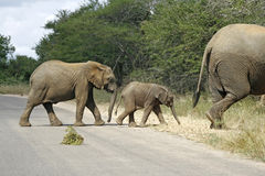 Three elephants. Walking across the road Royalty Free Stock Images