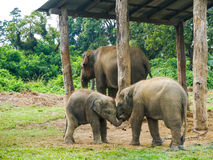 Three elephants at aisa Stock Photo