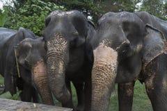 Three elephants. Animal wildlife mammals Stock Images