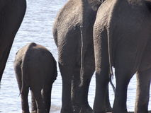 Three elephants from the back Stock Photo