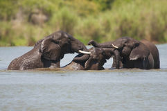 Three Elephants bathing in Kruger Park Royalty Free Stock Photo