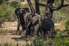 Three elephants beneath tree in dappled sunlight Stock Photography