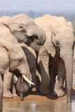 Three elephants close up drinking. These elephants were having a drink near a waterhole Stock Image