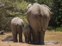 Three elephants of different ages drinking at a water hole, view from behind. Three African elephants of different ages are standing at a water hole drinking stock photo