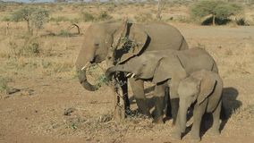 Three elephants eating the remains of the leaves of a dry broken acacia stock video
