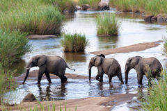 Three elephants. A family of three elephants crossing a river Royalty Free Stock Photos