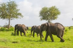 Three elephants go in the grass Royalty Free Stock Image