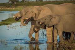 Three elephants in line drinking from river Royalty Free Stock Image