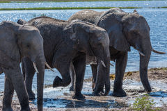 Three elephants in line walking from river Royalty Free Stock Images