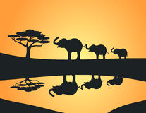 Three Elephants. Lined up at a watering hole Stock Image