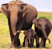 Three Elephants. A mother Elephant with her two little ones. The smallest one in the middle protected from the rest of the world Royalty Free Stock Image