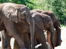 Three elephants next to each other stock image