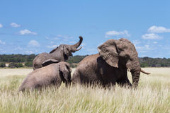 Three Elephants playing in a water hole Royalty Free Stock Image