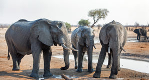 Three elephants standing next to a waterhole with another in the background Royalty Free Stock Photos