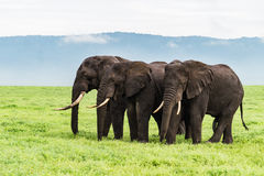 Three elephants Stock Images