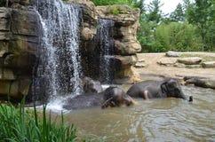 Three elephants swimming Royalty Free Stock Photos