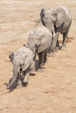 Three elephants Royalty Free Stock Images