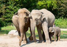 Three elephants in zoo Royalty Free Stock Images