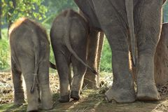 Three eliphants. Eliphants in Chitwan National Park in Nepal Stock Photos