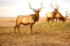 Three Elk Stock Photos