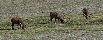 Three Elk stock photo