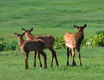 Three Elk Fawns Royalty Free Stock Photography