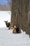 Three elk laying in the snow. Royalty Free Stock Photography