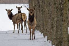 Three elk looking at the camera. Stock Image