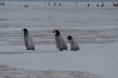 Three Emperor Penguin Chicks. Emperor Penguin chicks (Aptenodytes forsteri) walking on the ice Stock Image