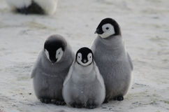 Three Emperor Penguin Chicks Huddled Together Stock Image