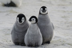 Three Emperor Penguin Chicks Huddled Together Royalty Free Stock Images