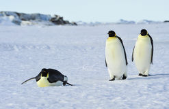 Three Emperor Penguins on the snow. Emperor Penguins at Snow Hill in Antarctica royalty free stock image