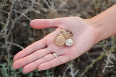 Three empty shells on the girl`s hand. Three empty shells on hand Stock Images