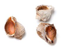 Three empty shells from rapana venosa Royalty Free Stock Photography