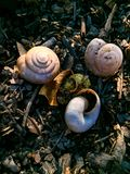 The three snail shells and one moss ball royalty free stock image