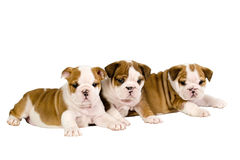 Three English bulldog puppies.