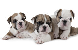 Three English Bulldog puppies Royalty Free Stock Photography