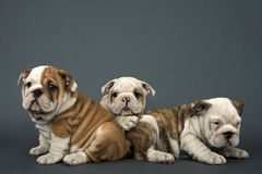 Three English Bulldogs Stock Photography
