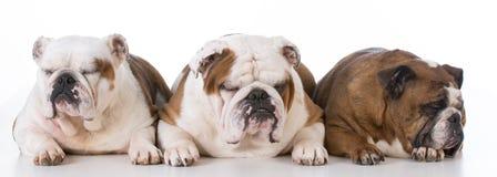Three english bulldogs Royalty Free Stock Image
