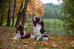 Three English Springer Spaniels Sitting on the grass. Autumn Background. Three English Springer Spaniels Sitting Royalty Free Stock Image