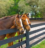 Three equine yearlings in a corral Stock Images