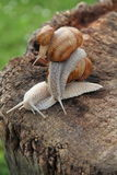 Three escargot or snails. Family of snails from big to small on a tree stump Royalty Free Stock Photography
