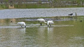 Three eurasian spoonbills in a pool in the marsh stock photos