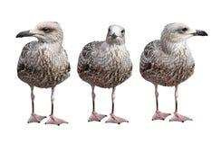Three European Herring Gulls. Three photos of Juvenile European Herring Gull against of the white bacground. European Herring Gull is one of the best known of Royalty Free Stock Image