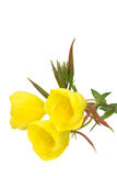 Three evening primrose blooms Stock Image