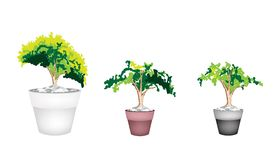 Three Evergreen Plant in Terracotta Flower Pot Stock Image