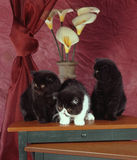 Three exotic shorthair kittens Royalty Free Stock Image