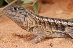 Three-eyed lizard Royalty Free Stock Images