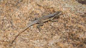 Three eyed plated lizard camouflaged on a rock in Madagascar Royalty Free Stock Photos